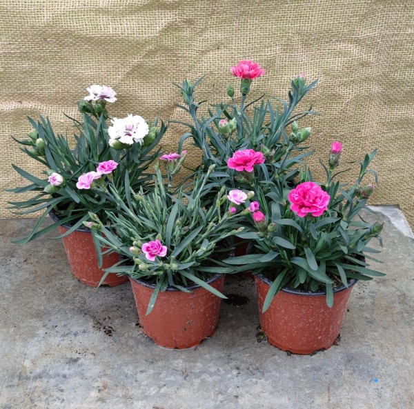 Nägeli / Dianthus