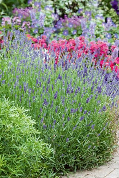 Lavendel silbrig