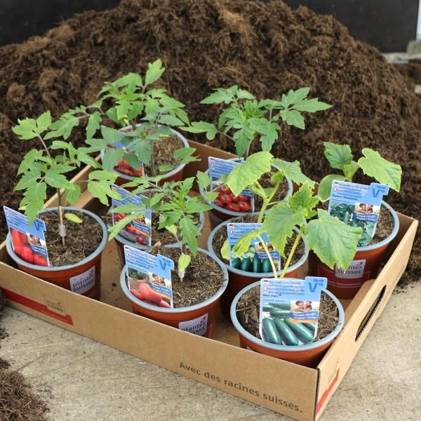 Tomaten/Gurken veredelt im 8er Set